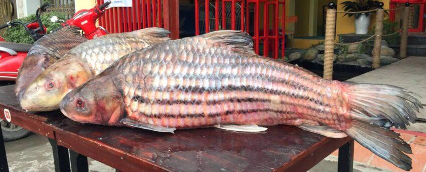 Probarbus jullieni - the Jullien's golden carp