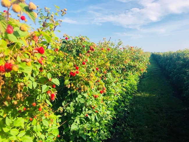 Raspberry farming in Lam Dong province