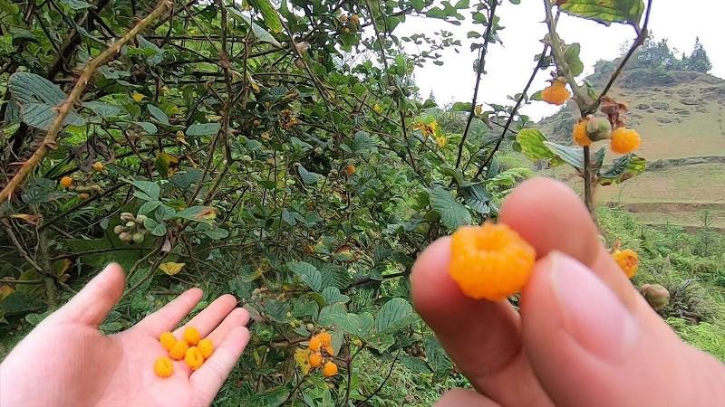 Rubus ellipticus var. obcordatus