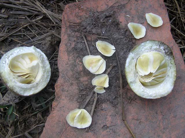 Sarcolobus globosus seeds