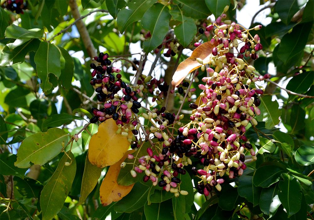 Syzygium cumini fruits