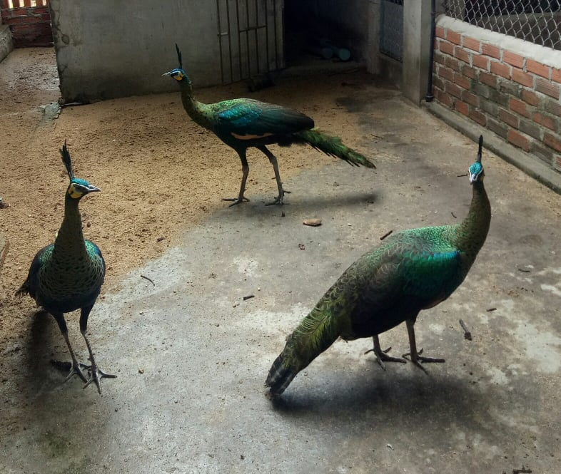 The green peafowl (Pavo muticus) in a farm in Binh Dinh province