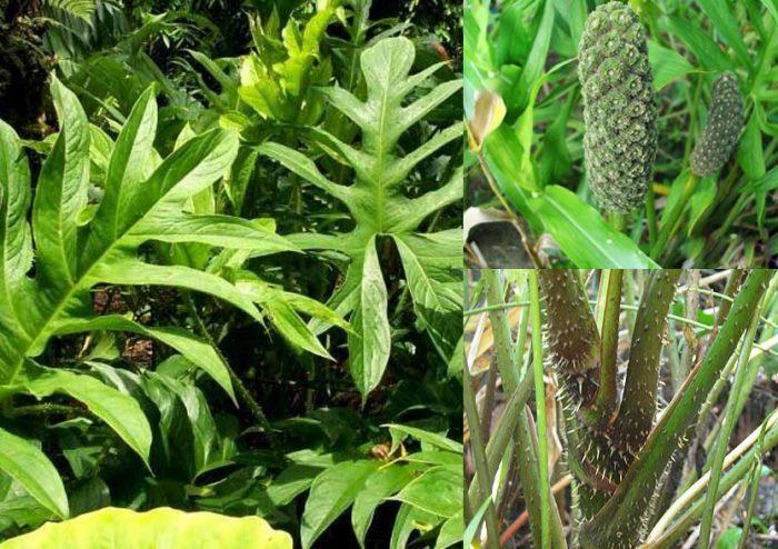 The spiny lasia - Lasia spinosa