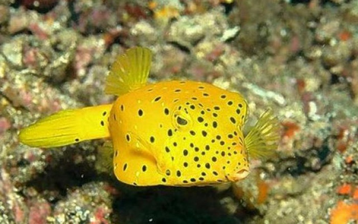 The yellow boxfish Ostracion cubicus