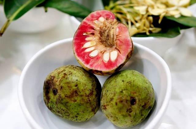 Tonkin breadfruit - Artocarpus tonkinensis