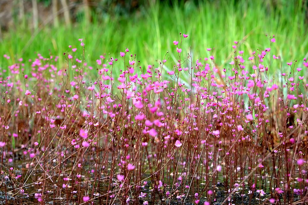 Utricularia punctata - the purple bladderwort