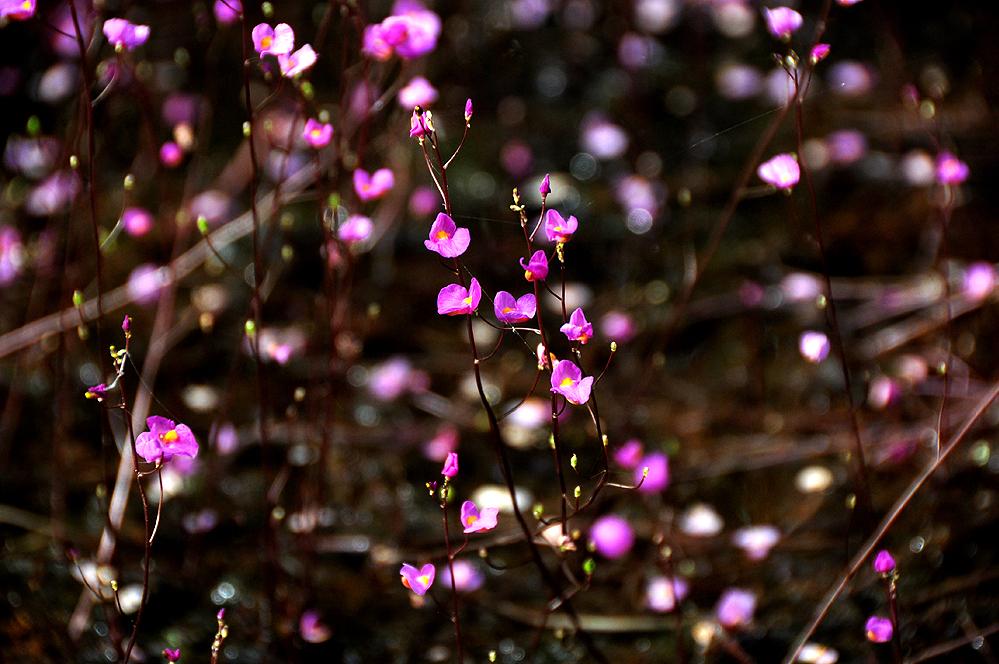 Utricularia punctata