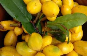 Uvaria dulcis fruits