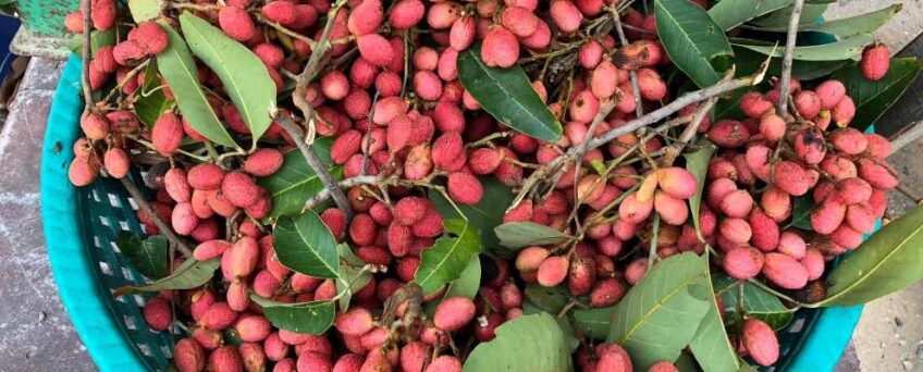 Nephelium hypoleucum - Wild korlan fruits harvested in An Giang province