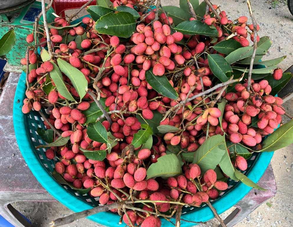 Nephelium hypoleucum -Wild korlan fruits harvested in An Giang province