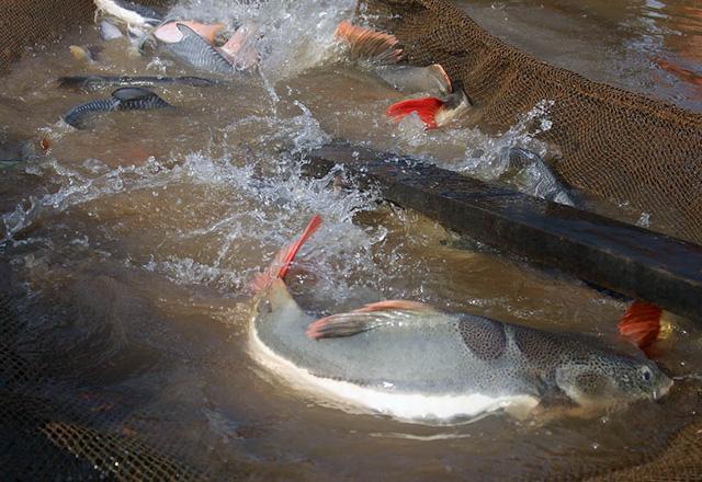farm-raised redtail catfish