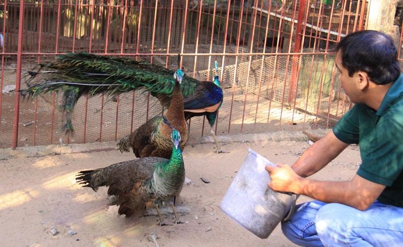 feeding peafowls