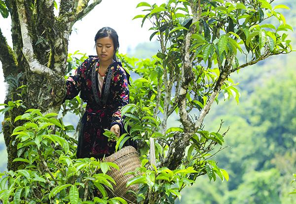 harvest Shan Tuyet tea leaves in Tua Chua