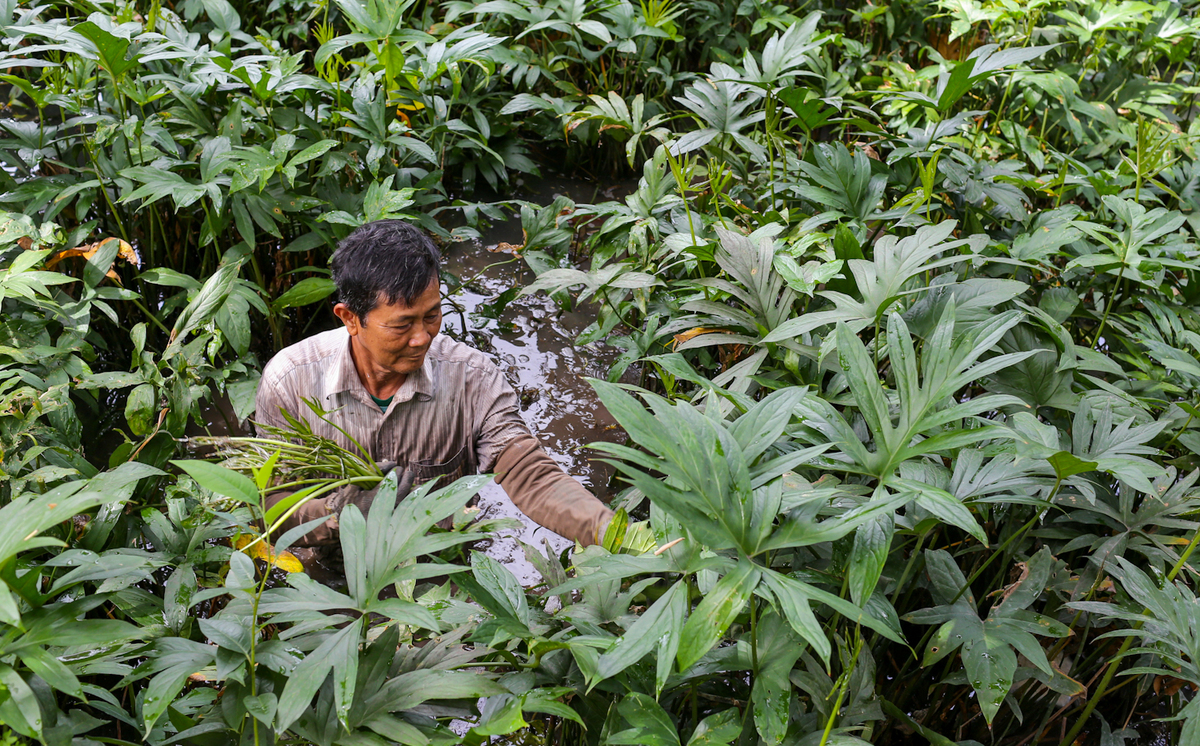 harvesting spiny lasia vegetable