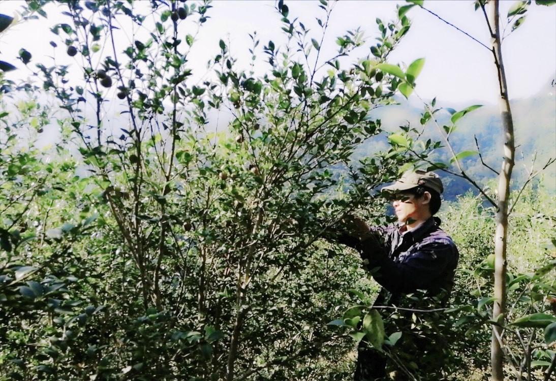 harvesting tea oil seeds in Cao Bang