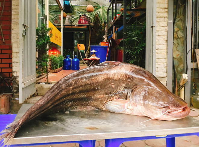 Wild-caught Wallago attu